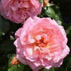 Fragrant Celebration (Climbing Rose)
