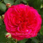 Frilly Cuff (Shrub Rose)
