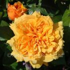 Leah Tutu (Shrub Rose)