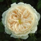 Macmillan Nurse (Shrub Rose)