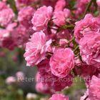 Minnehaha (Rambling Rose)