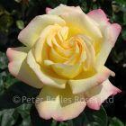 Peace (Bush Rose)