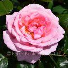 Pearl of  St. Luke's (Shrub Rose)