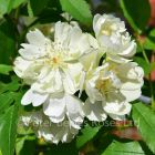 Purezza (Rosa banksiae Purezza) (Rambling Rose)