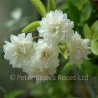 Rosa banksiae alba plena (Rambling Rose)