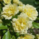 Rosa banksiae lutea (Rambling Rose)