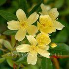 Rosa banksiae lutescens (Rambling Rose)