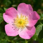 Rosa eglanteria (rubiginosa)