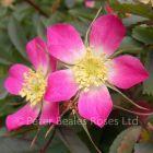 Rosa glauca (Shrub Rose)