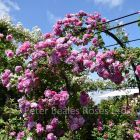 Rosa multiflora platyphylla (Rambling Rose)