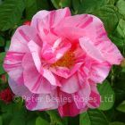 Rosa Mundi (Shrub Rose)