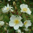 Rosa pimpinellifolia (Shrub Rose)