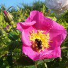 Rosa virginiana (Shrub Rose)