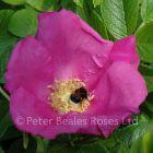Scabrosa (Shrub Rose)
