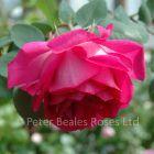 Sir Paul Smith (Climbing Rose)
