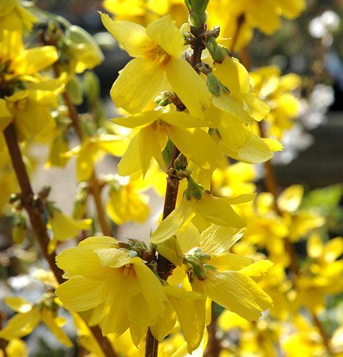 Pruning Shrubs, Perennials and Climbing Plants