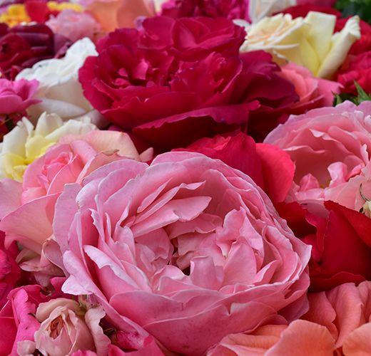 Rose Gardening Calendar