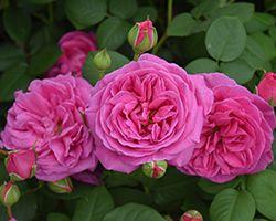 Sandringham Rose Launch