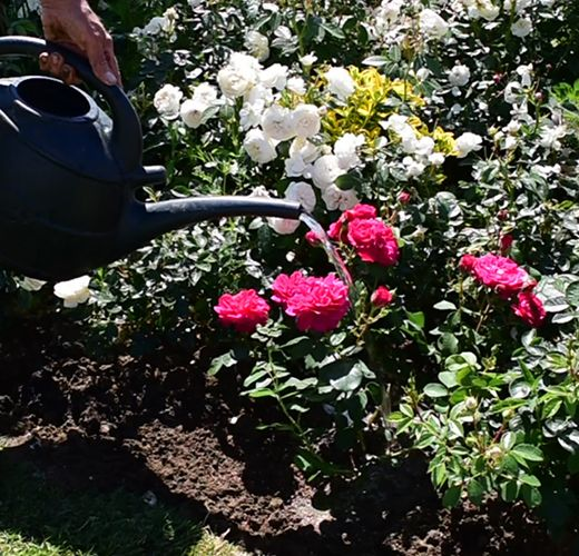 Feeding and Watering Roses