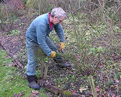 Ian Pruning with shears