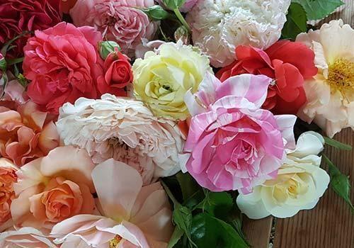 Hybridising Roses