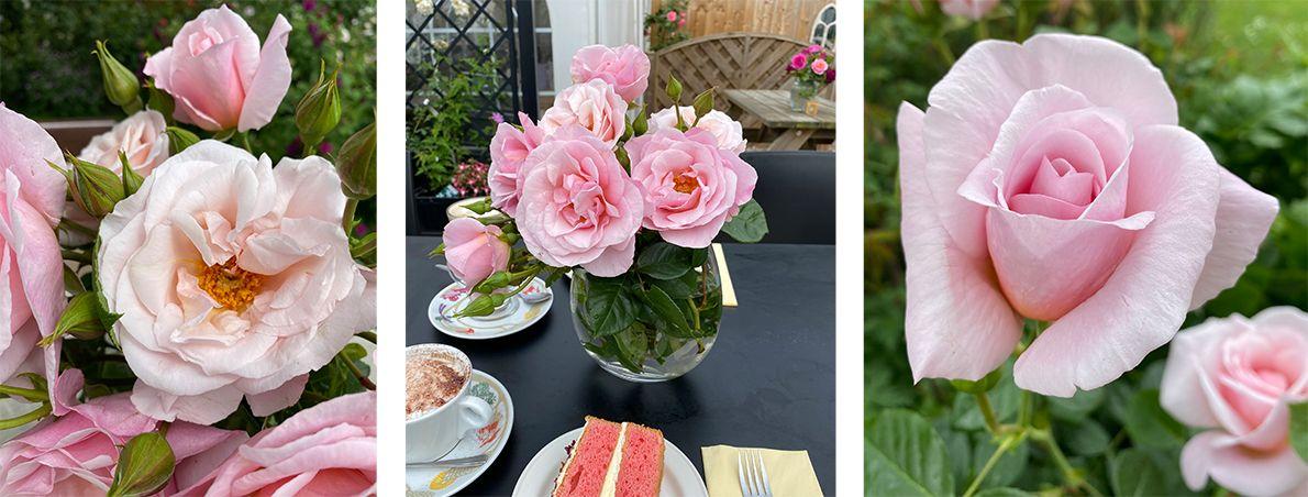 Oxford Botanic Garden's rose