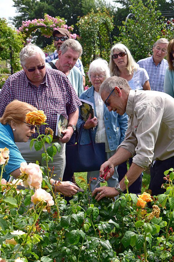 rose care pruning