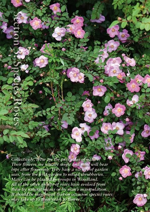 Online catalogue - species roses