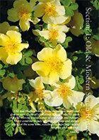 Online catalogue - shrub roses