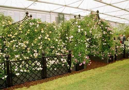 RHS Chelsea Flower Show 2002 Peter Beales Roses