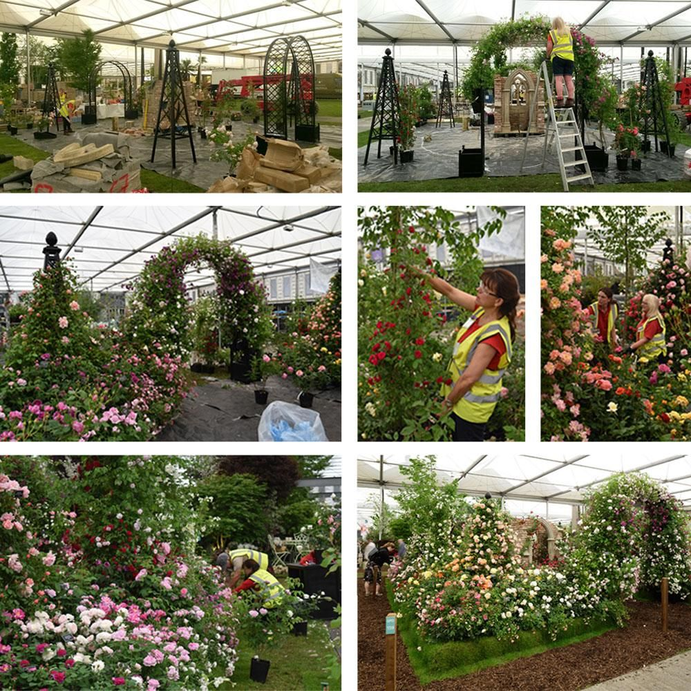 RHS Chelsea Flower Show Build Up 2016 Peter Beales Roses