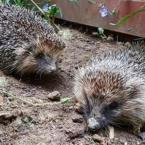 Evening Talk and Meal - Help our Hedgehogs