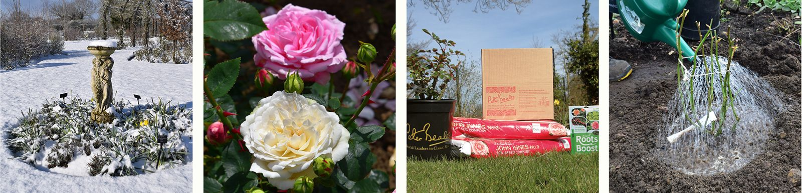 Planting roses in snow    |    Rose sports    |    Rose replant boxes    |    Water new roses well