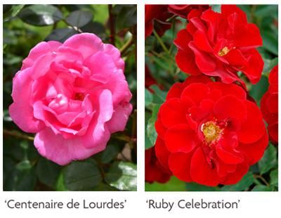Parent Roses for Hybridising