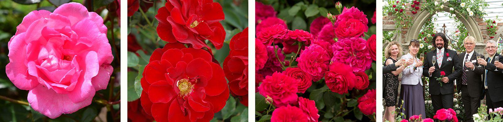 centenaire-de-lourdes-ruby-celebration-frilly-cuff
