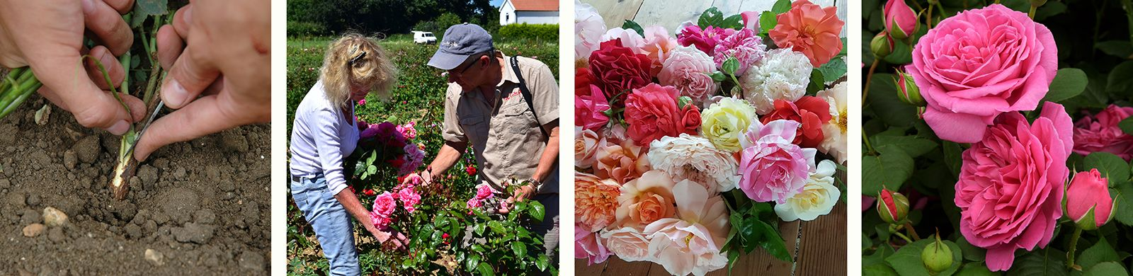 How are new roses bred? Fig.13, Fig.14, Fig.15 & Fig.16
