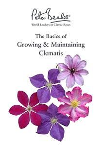 Clematis Care Guide
