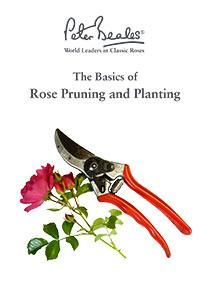 How to Plant and Prune Roses Guide