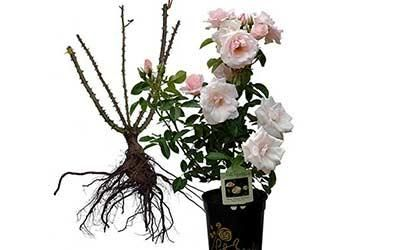 Bare Root or Container Roses