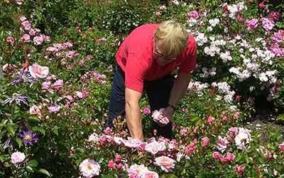 Pruning and Dead Heading Roses