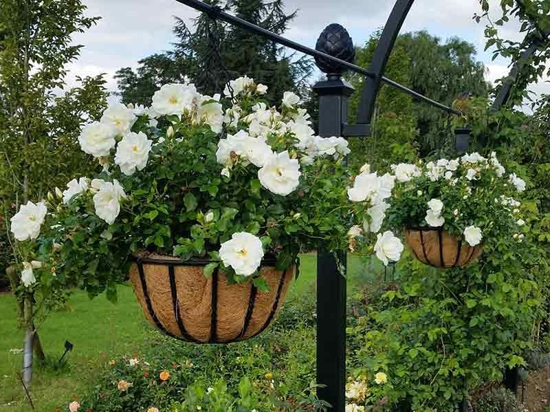 Rose in hanging basket