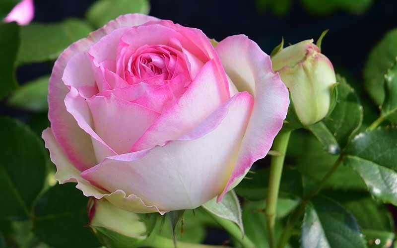 Perfect roses for small gardens