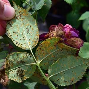 Pests and Diseases | Ideas and Advice | Peter Beales Roses