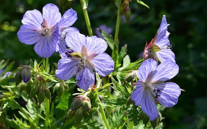 Perennials Geranium Mrs Kendall Clark