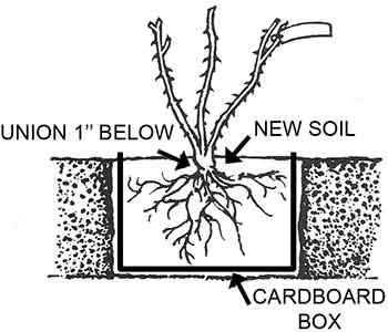 Planting a rose in a cardboard box to avoid replant disease