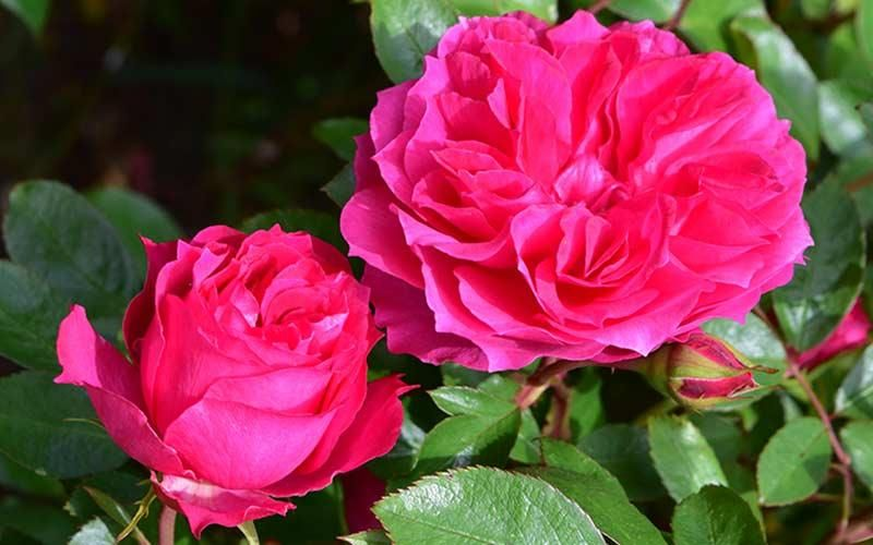 Best Roses for Constant Colour