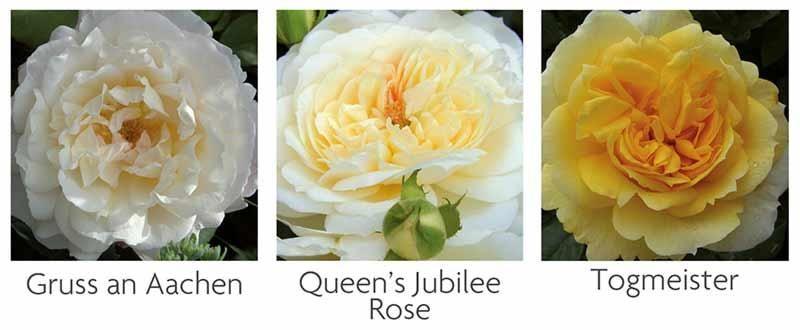 Small Garden Rose Collection