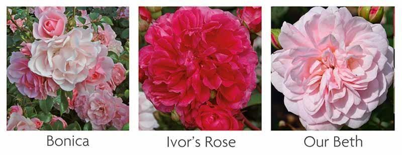 Starter Shrub Rose Collection