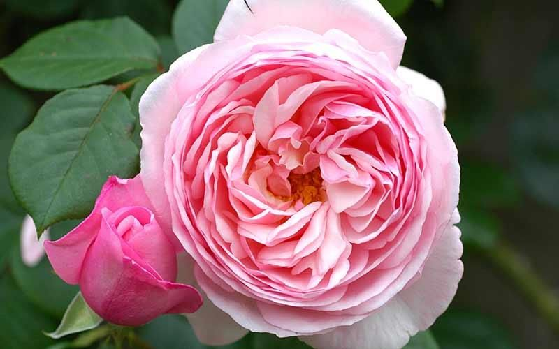 Scented Rose Collections