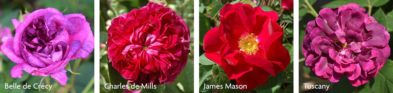 Gallica Roses